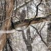 Barred Owl<br /> Busch Wildlife Conservation Area