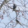 Tree Swallows<br /> Busch Wildlife Conservation Area