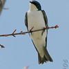Tree Swallow<br /> Busch Wildlife Conservation Area