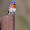 Eastern Bluebird<br /> Busch Wildlife Conservation Area