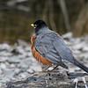 American Robin <br /> Creve Coeur Marsh