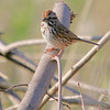 Song Sparrow<br /> Creve Coeur Marsh