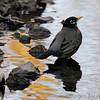 American Robin<br /> Creve Coeur Marsh