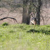 Eastern Wild Turkey<br /> Creve Coeur Marsh