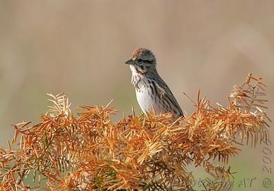 Song Sparrow Creve Coeur Marsh