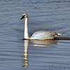 Trumpeter Swan<br /> Riverlands Migratory Bird Sanctuary