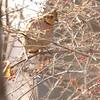 Northern Bobwhite (Female)<br /> Creve Coeur Marsh
