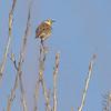Eastern Meadowlark<br /> Creve Coeur Marsh