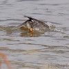 Dive dive!<br /> Common Goldeneye (Female)<br /> Riverlands Migratory Bird Sanctuary
