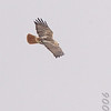 Red-tailed Hawk<br /> Riverlands Migratory Bird Sanctuary