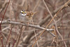 White-throated Sparrow<br /> Busch Wildlife CA<br /> Lake 6