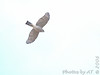 Sharp-shinned Hawk<br /> Busch Wildlife CA<br /> Lake 6
