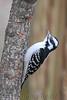 Hairy Woodpecker (Female)