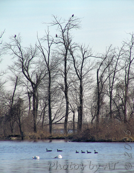 Bald Eagles <br /> Riverlands Migratory Bird Sanctuary <br /> 2006-01-07<br /> <br /> No. 45 on my Lifetime List of Bird Species <br /> Photographed in Missouri.