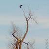 Bald Eagle<br /> Riverlands Migratory Bird Sanctuary