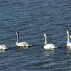 Trumpeter Swans<br /> Riverlands Migratory Bird Sanctuary