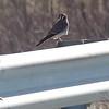 American Kestrel<br /> Riverlands Migratory Bird Sanctuary
