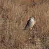 American Kestrel<br /> Riverlands Migratory Bird Sanctuary <br /> 2006-01-19<br /> <br /> No. 46 on my Lifetime List of Bird Species <br /> Photographed in Missouri.