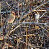 Female Northern Cardinal & White-throated Sparrow<br /> Busch Wildlife Conservation Area