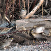 White-throated Sparrows<br /> Busch Wildlife Conservation Area
