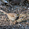 White-throated Sparrow<br /> Busch Wildlife Conservation Area