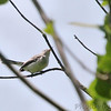 Blue-gray Gnatcatcher<br /> St. Stanislaus Conservation Area