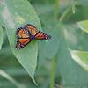 Viceroy<br /> (Limenitis archippus)<br /> St. Stanislaus Conservation Area