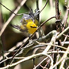 "Prothonotary Warbler<br /> ""After the bath""<br /> St. Stanislaus Conservation Area"