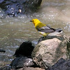 Prothonotary Warbler<br /> St. Stanislaus Conservation Area