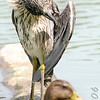 Yellow-crowned Night-Heron (Juvenile) and Mallard<br /> Forest Park<br /> St. Louis, Mo.