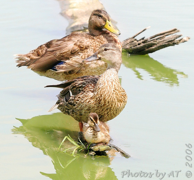 Mallard Family<br /> Forest Park<br /> St. Louis, Mo.