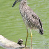 Yellow-crowned Night-Heron (Juvenile)<br /> Forest Park<br /> St. Louis, Mo.