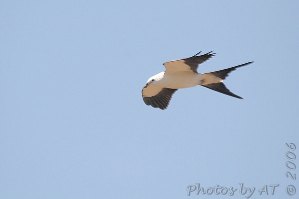 Swallow-tailed Kite Weldon Spring Site Interpretive Center Prairie