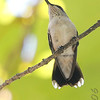 Ruby-throated Hummingbird <br /> Bridgeton, MO