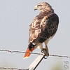 Red-tailed Hawk<br /> Airport fence