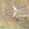 Solitary Sandpiper <br /> Earth City