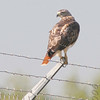 Red-tailed Hawk<br /> Airport fence <br /> Bridgeton