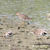 Killdeer and Least Sandpiper<br /> Earth City