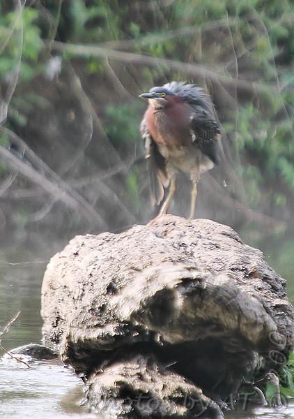 Green Heron <br /> Creve Coeur Lake