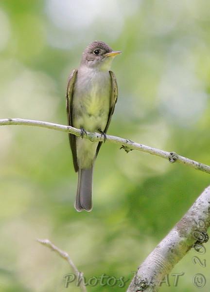 ? Olive-sided Flycatcher ?