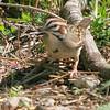Lark Sparrow <br /> Weldon Springs Katy Trail parking Lot <br /> <br /> No. 115 on my Lifetime List of Bird Species <br /> Photographed in Missouri