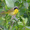 Common Yellowthroat<br /> Busch Wildlife CA
