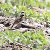 Horned Lark<br /> Darst Bottoms