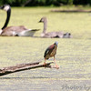 Green Heron and Canada Geese<br /> Busch Wildlife CA