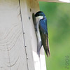 Tree Swallow<br /> Hampton Lake<br /> Busch Wildlife CA