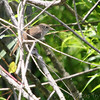 House Wren<br /> Hampton Lake<br /> Busch Wildlife CA