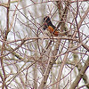 Eastern Towhee<br /> Busch Wildlife Conservation Area <br /> <br /> No. 53 on my Lifetime List of Bird Species <br /> Photographed in Missouri