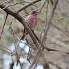 Purple Finch (Male)<br /> Busch Wildlife Conservation Area