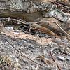Fox Sparrow<br /> Busch Wildlife Conservation Area