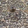 Slate-colored Junco (Female)<br /> Busch Wildlife Conservation Area